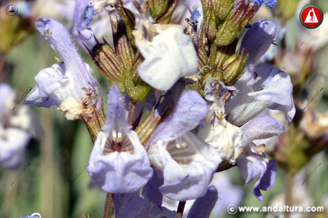 Flores de Salvia lavandulifolia