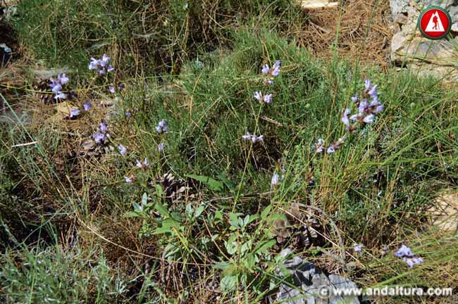 Planta Salvia -Salvia rotundifolia -