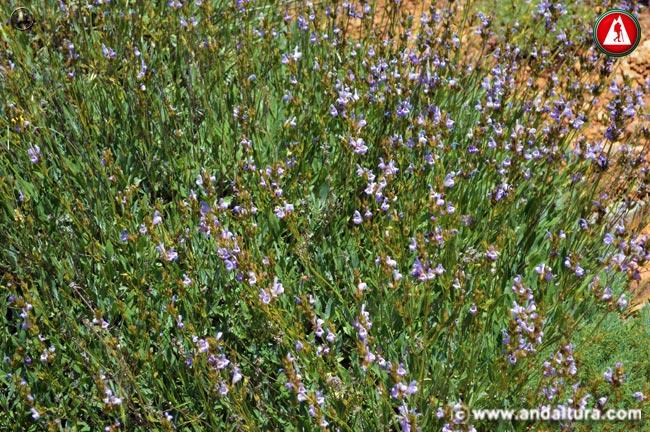 Planta y Flores de Salvia - Salvia lavandulifolia -