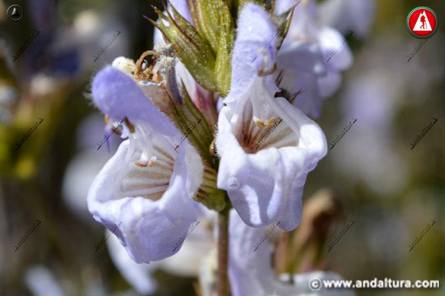Flores de Salvia