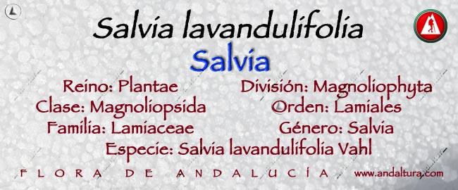 Taxonomia; Salvia lavandulifolia