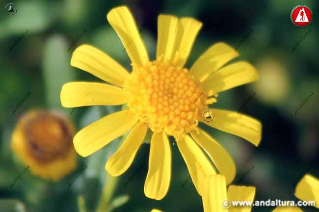 Detalle flor de Suzón de Sierra Nevada