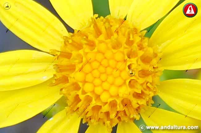 Flor de Suzón de Sierra Nevada - Senecio nevadensis -