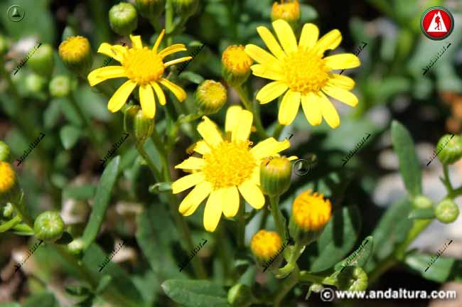 Suzón de Sierra Nevada - Senecio nevadensis -