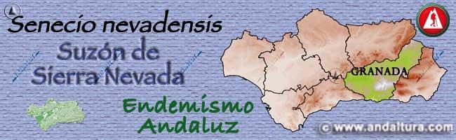 Endemismo Suzón de Sierra Nevada - Senecio nevadensis -