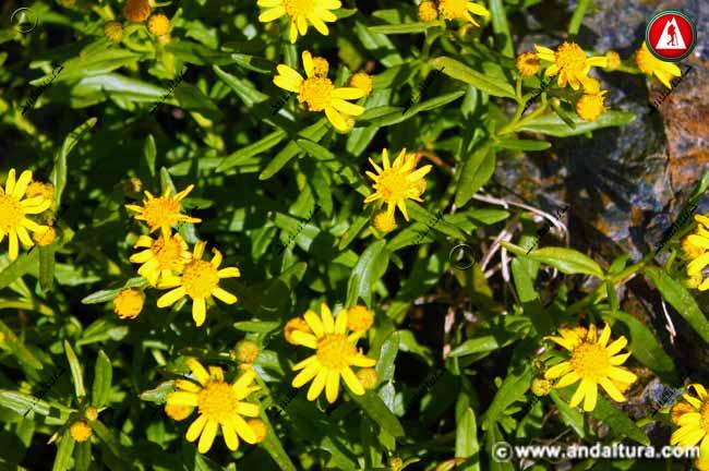 Flores del Senecio nevadensis, Suzón de Sierra Nevada