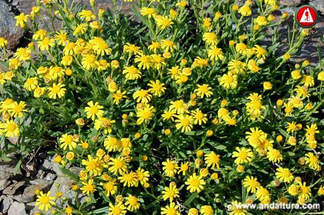 Flores de Suzón de Sierra Nevada