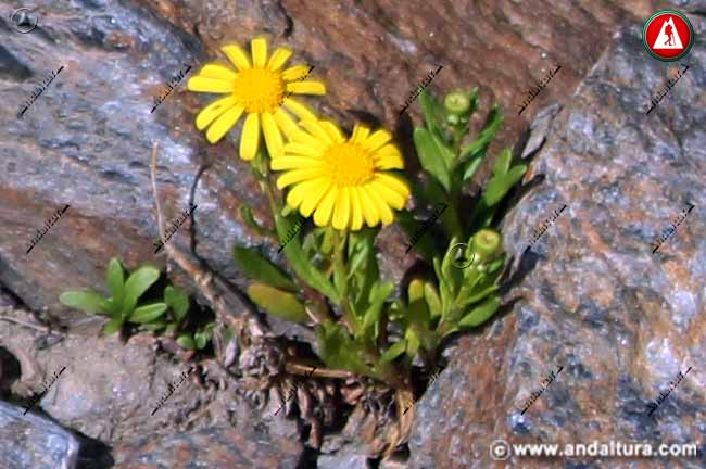 Planta de Senecio nevadensis