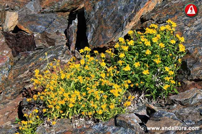 Planta de Senecio nevadensis en las proximidades de la Alcazaba