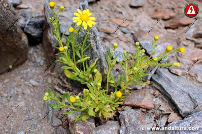 Planta Suzón de Sierra Nevada