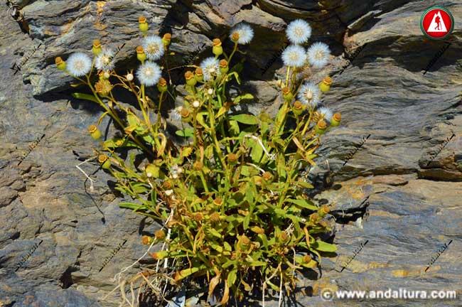 Vilano y aquenios de Suzón de Sierra Nevada