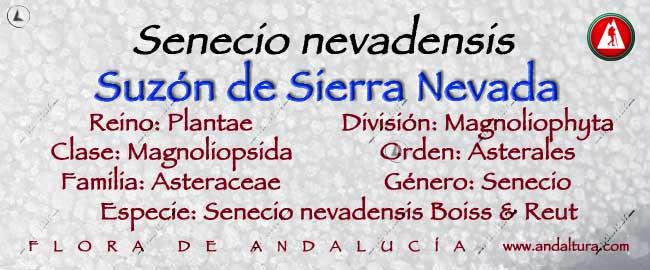 Taxonomía: Suzón de Sierra Nevada - Senecio nevadensis -