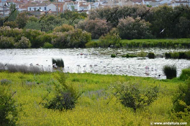 Flamencos en el Laguneto y Fuente de Piedra al fondo