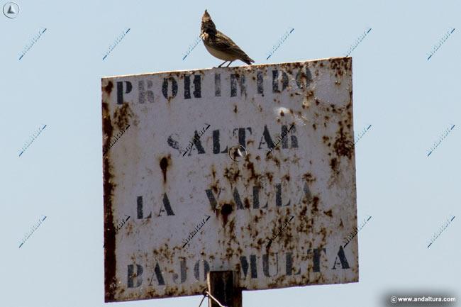 Alondra común en la Reserva Natural Laguna de Fuente de Piedra