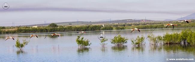 Flamencos rosa llegando a la Laguna de la Ratosa