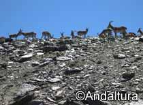 cabras montesas en los crestones de rio seco