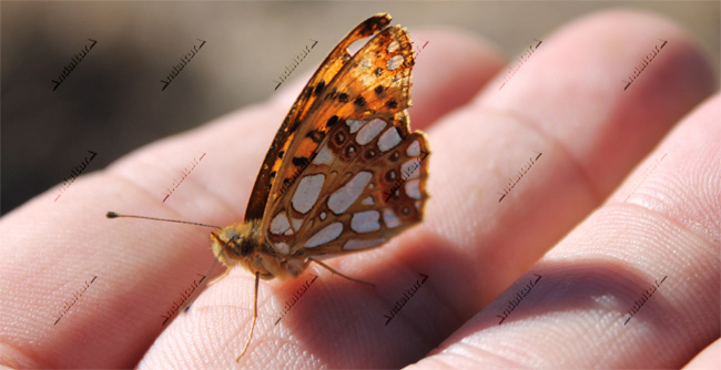 Lepidoptero issoria lathonia
