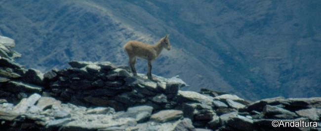 Cabra Montesa en las ruinas del Mulhacén