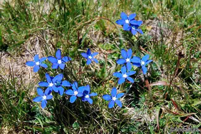 Gentiana sierrae -Genciana de primavera-, endemismo de Sierra Nevada