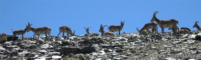 Cabras Montesas en la Loma del Caballo