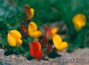 Cuernecillo, Lotus corniculatus subsp glacialis