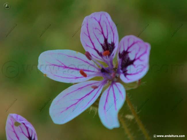 alfilerillo-de-sierra-nevada-erodium-rupicola-boiss