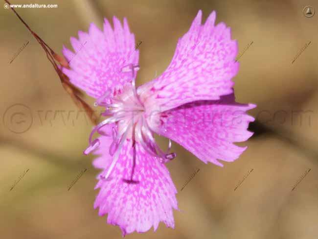 clavelillos-dianthus-lusitanus