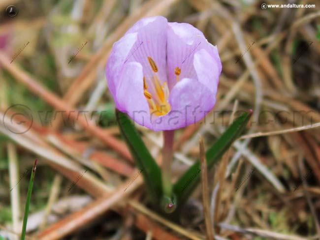 colchico-de-primavera-colchicum-triphyllum