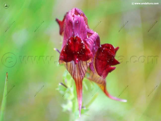 conejillos-linaria-aeruginea-subsp-aeruginea