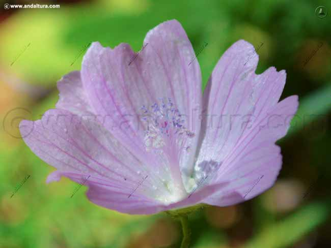 malva-moscada-malva-tournefortiana