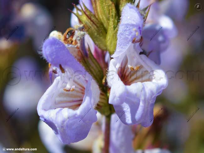 salvia-salvia-rotundifolia