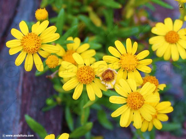 suzon-de-sierra-nevada-senecio-pyrenaicus-subsp-granatensis