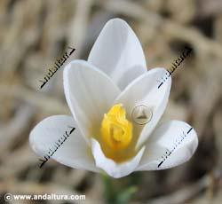 azafran-silvestre-crocus-nevadensis
