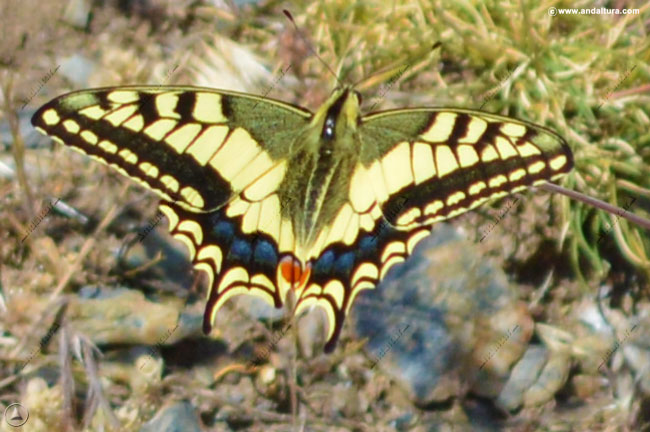 macaon-papilio-machaon