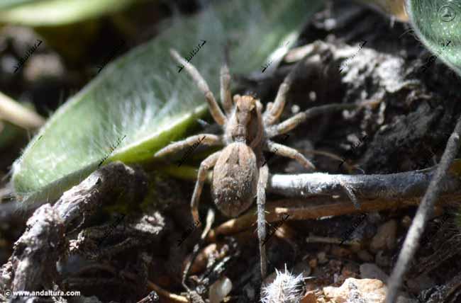 cria-arana-lobo-lycosa-tarántula
