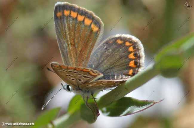 hembra-nina-de-sierra-nevada-polyommatus-golcus