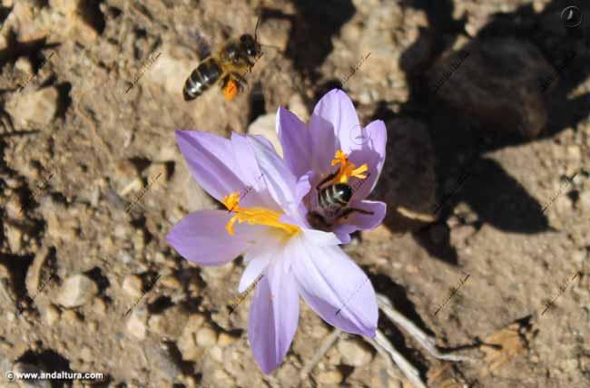 abejas-en-merendera-montana