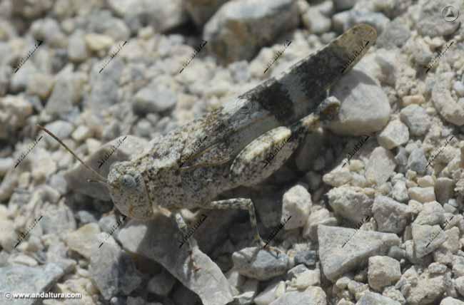 saltamontes-oedipoda-caerulescens