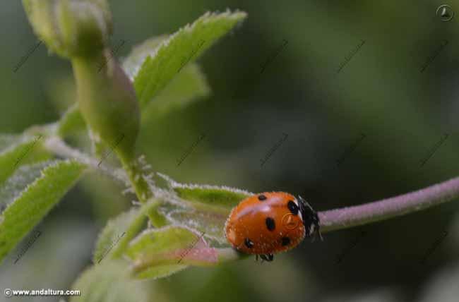 mariquita-de-siete-puntos-coccinella-septempunctata