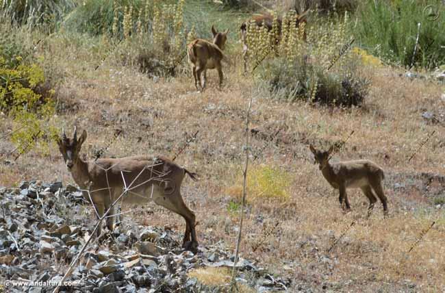 cabras-montesas-capra-pyrenaica-hispanica