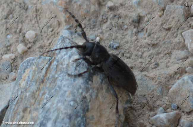 iberodorcadion-lorquinii