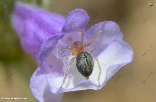 Araña en Cleonía