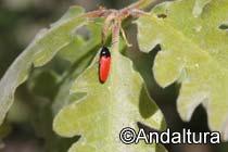 Insecto en la hoja de un roble