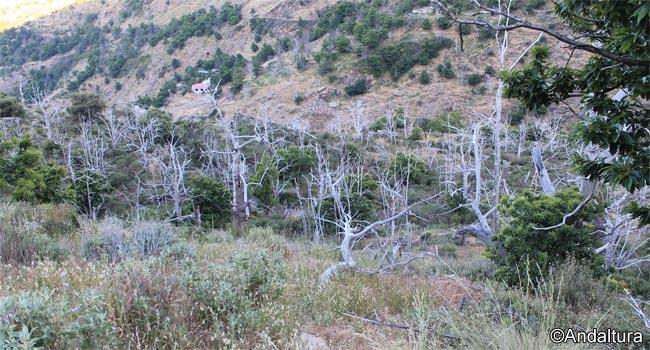 Restos de los Castaños quemados en el incendio y que aun no han brotado de nuevo