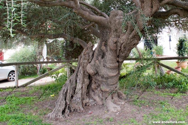 Ejemplar del Monumento Natural del Acebuchal del Rocío, detalle del tronco