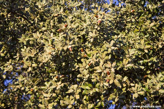 Detalle de las hojas y las bellotas de la Encina Dehesa de San Francisco
