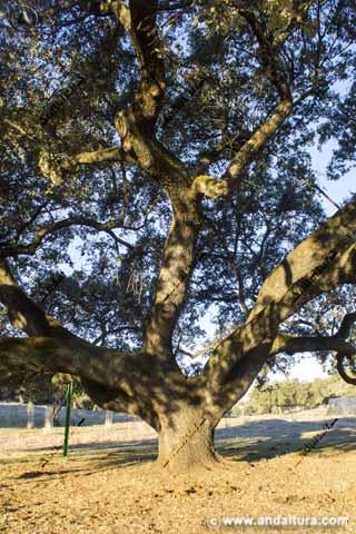 Detalle grandes ramas de la Encina Dehesa de San Francisco