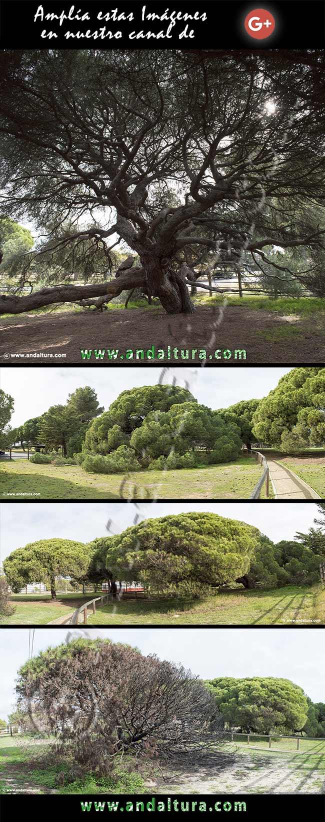 Imágenes del Pino Centenario Parador de Mazagón en Google+
