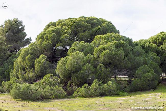 Monumento Natural Pino Centenario del Parador de Mazagón