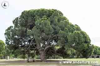 Pinar de la ruta por los alrededores del Monumento Natural Pino Centenario del Parador de Mazagón
